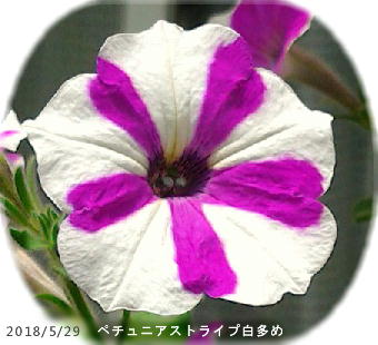 2018/5/29、ペチュニア・ストライプ 白多め