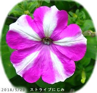 ペチュニア・ストライプ 赤紫にじみ