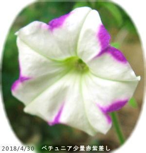 2018/4/30、ペチュニア 赤紫差し
