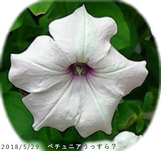 2018/5/29、ペチュニア うっすら模様?