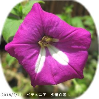 2018/5/11、ペチュニア 白差し