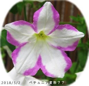 2018/5/2、ペチュニア キキョウ咲き??!