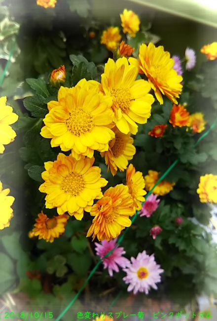 2018/10/15、色変わりスプレー菊