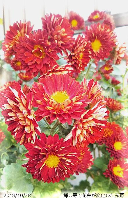2018/10/28、赤菊 挿し芽によって一重が八重傾向に変化