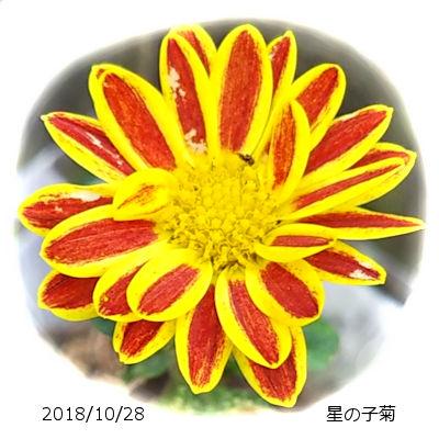 2018/10/28、星の子菊