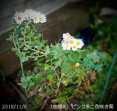 2018/11/7、ピンク系二色咲き菊(地植え))