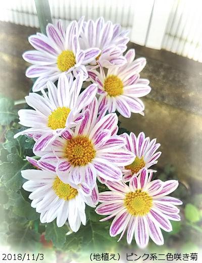 2018/11/3、ピンク系二色咲き菊(地植え)