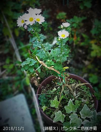 2018/11/1、ピンク系二色咲き菊(鉢植え)