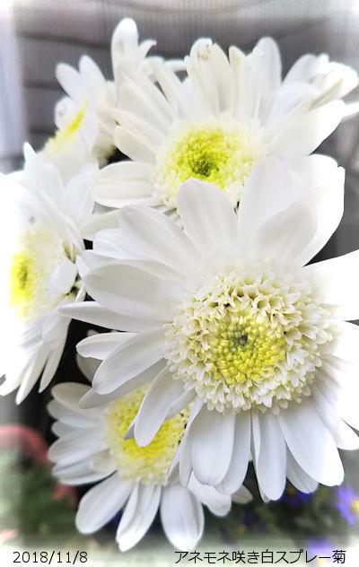 2018/11/10、花嫁さん♪アネモネ咲き白菊
