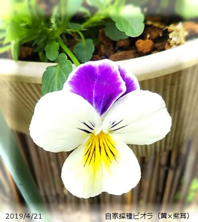 2019/4/21、自家採種パンジー(ビオラ) 黄色×紫耳