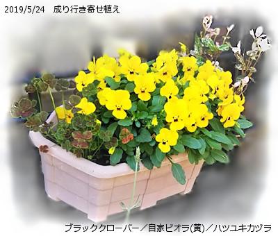 2019/5/23、成り行き寄せ植え ブラッククローバー/自家採種ビオラ(黄色)/ハツユキカズラ