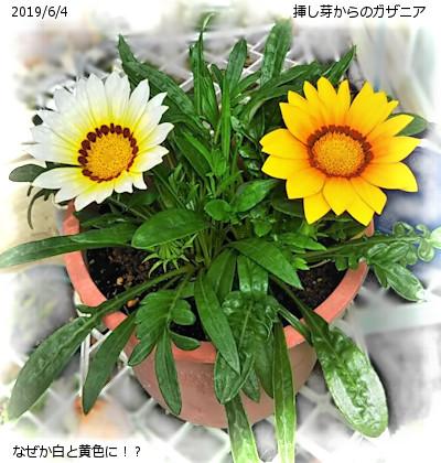 2019/6/4、挿し芽からのガザニア 黄色に?!