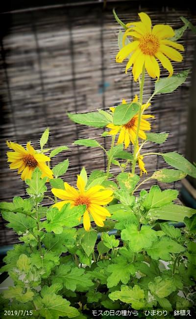 2019/7/15、モスの日の種から ひまわり 鉢植え