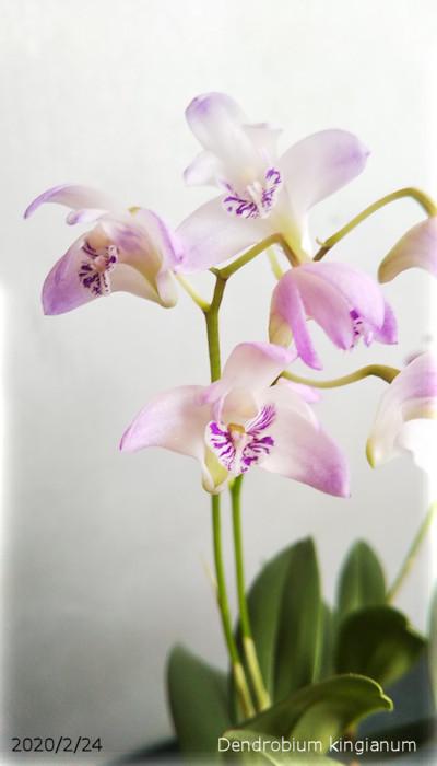 2020/2/24、Dendrobium kingianum