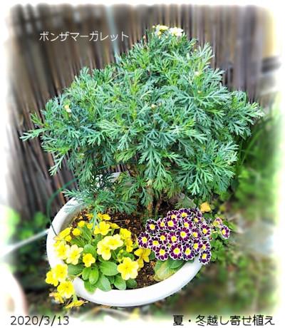 2020/3/13、夏・冬越えた寄せ植え ボンザマーガレット/プリムラ2種