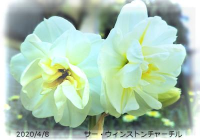 2020/4/8、変わり咲き水仙 サー・ウィンストン・チャーチル