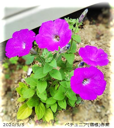 2020/5/5、ペチュニア(宿根)赤紫