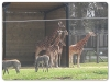 Giraffe & Chapmans Zebra