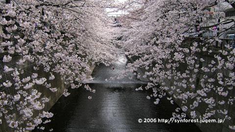 060328現在の中目桜