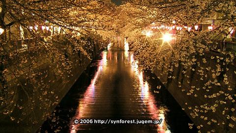 060329現在中目桜・夜桜