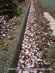 060414_中目桜_道端の花びら