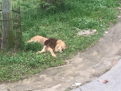 ライオン発見