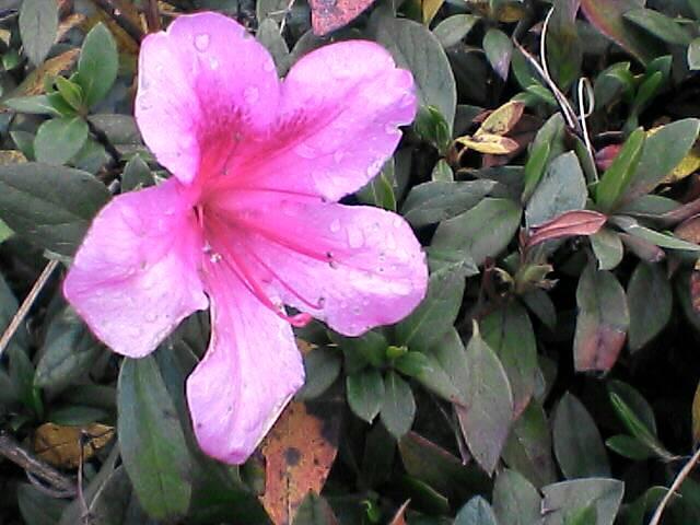 080110-02 ツツジに似た花
