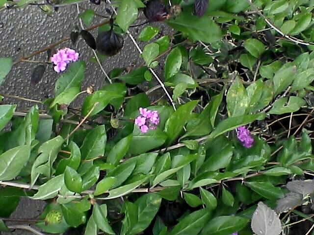 080110-03 小さな桃色の花