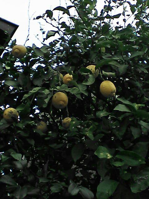 080111-01 レモンの木1