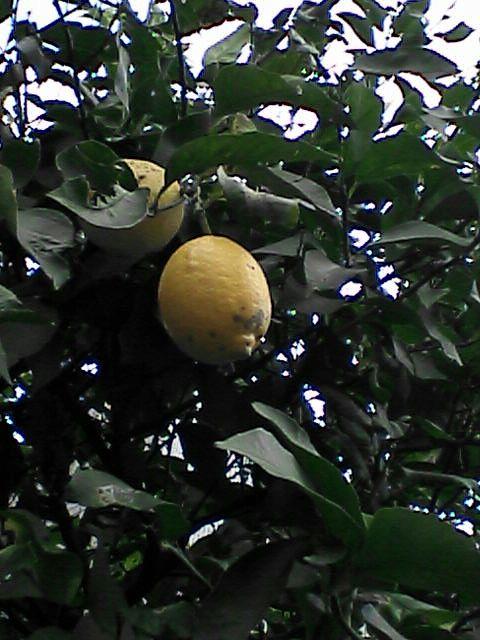 080111-02 レモンの木2