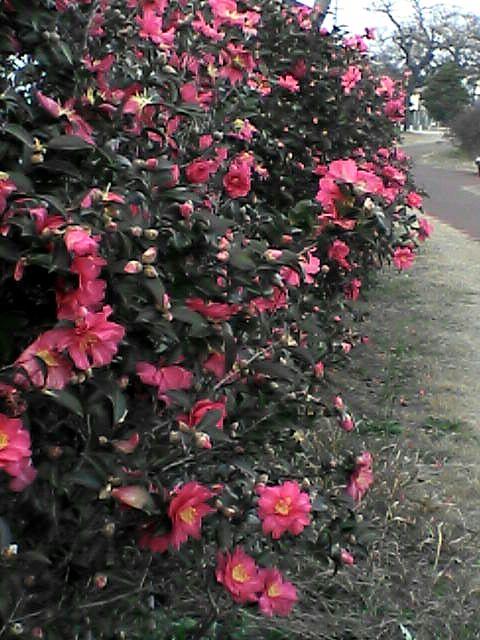 080112-03 山茶花咲いた道