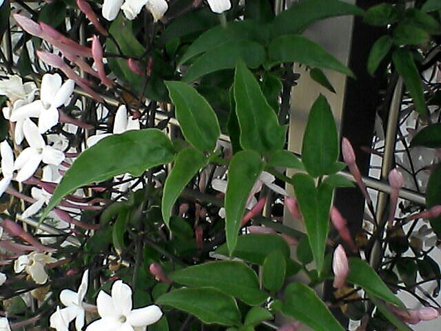 070507-04 ジャスミンの葉と蕾