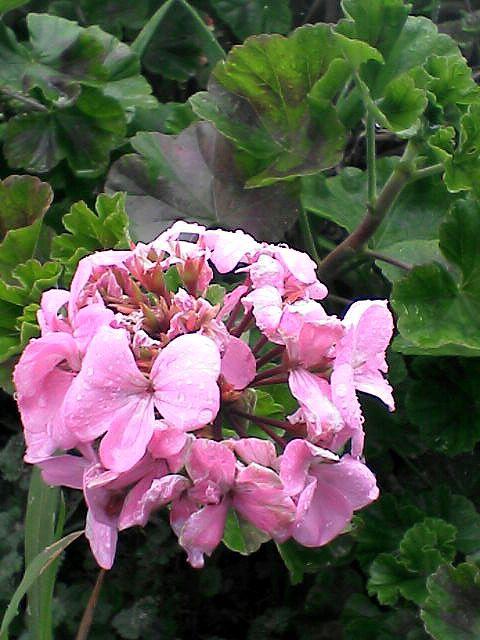080120-02 不明のピンクの花