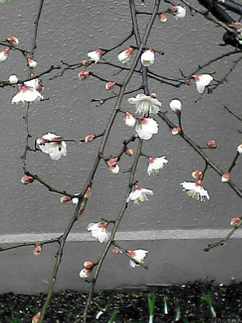 080120-04 木に咲く白い小さな花