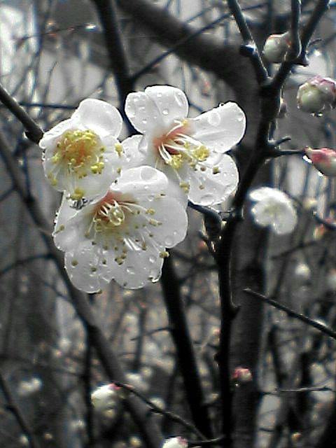 080120-05 木に咲く白い小さな花のアップ
