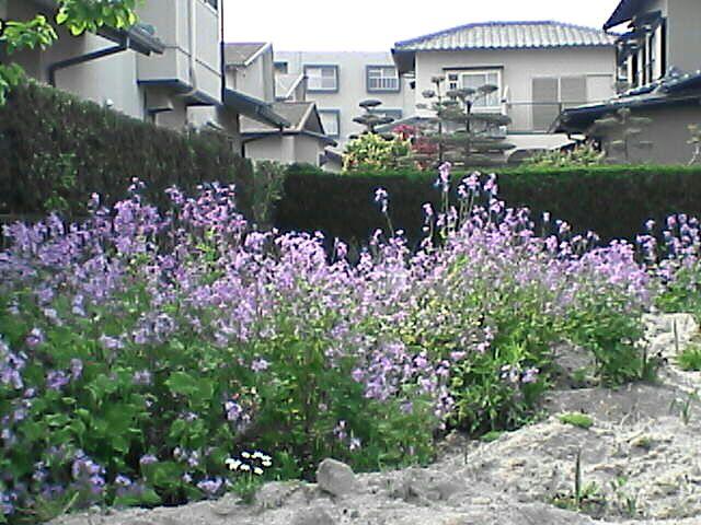 080506-14 紫の花・遠景