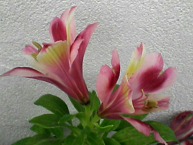080509-02 アルストロメリア・花のアップ