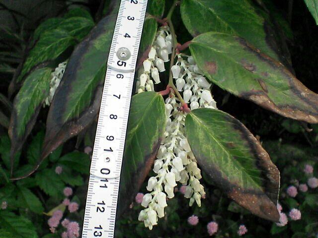 080514-18 謎の白い花、全景、折尺付き