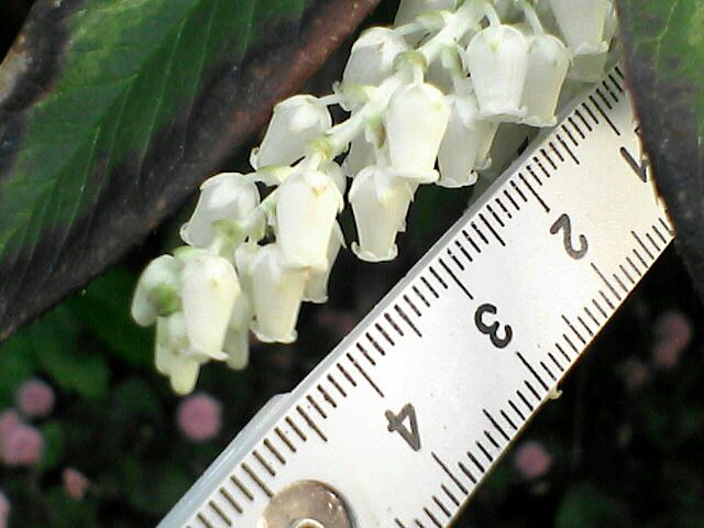 080514-19 謎の白い花、アップ、折尺付き