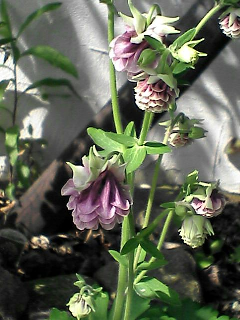 080515-06 オダマキ、花