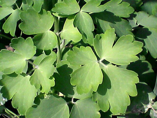 080515-07 オダマキ、葉
