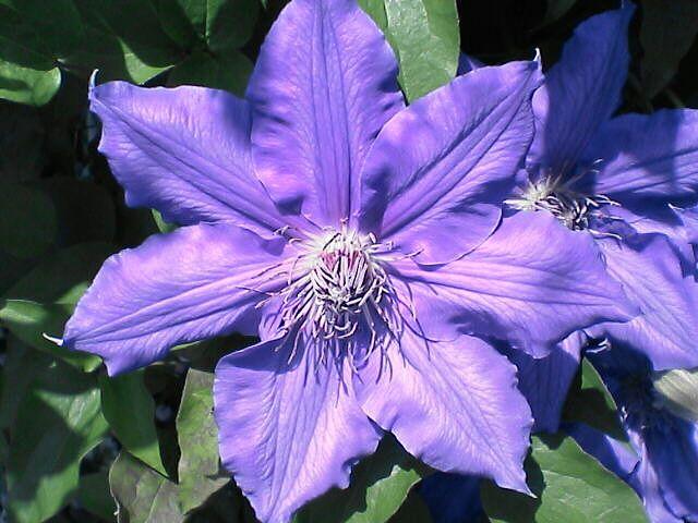 080516-03 紫のクレマチス、アップ