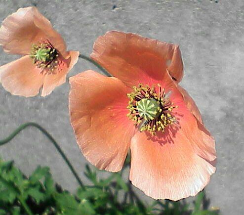 080516-10 ナガミヒナゲシ、花を斜めから