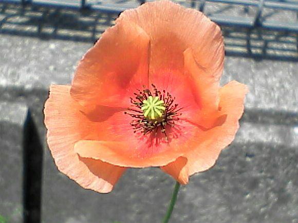 080516-11 ナガミヒナゲシ、花を正面から