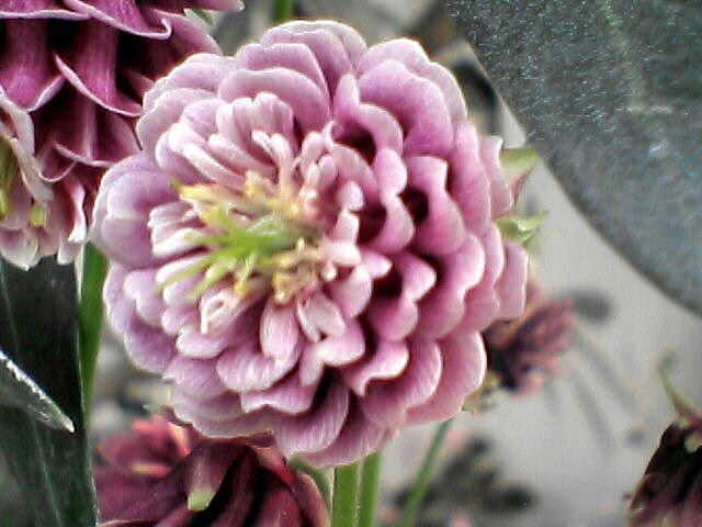 080523-02 オダマキの花のアップ