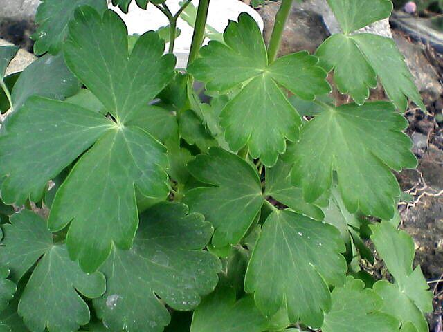 080523-03 オダマキの葉っぱ
