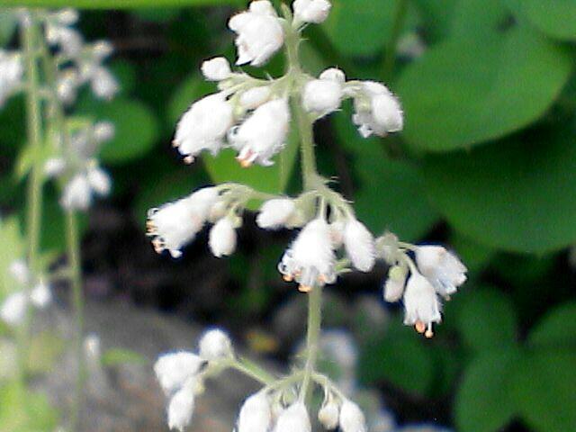 080523-05 謎の白い花