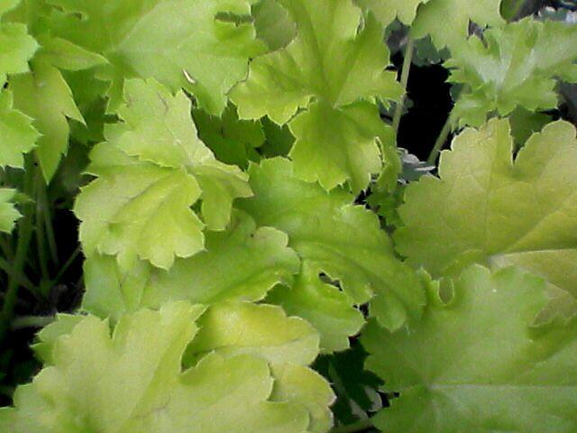 080523-06 謎の白い花の葉っぱ