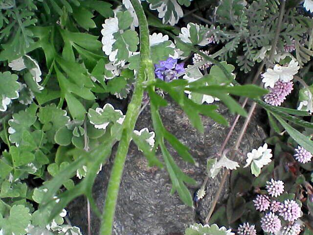 080523-08 ラナンキュラスの茎と葉