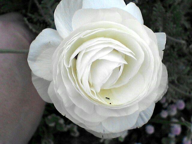 080523-09 ラナンキュラス、花のアップ